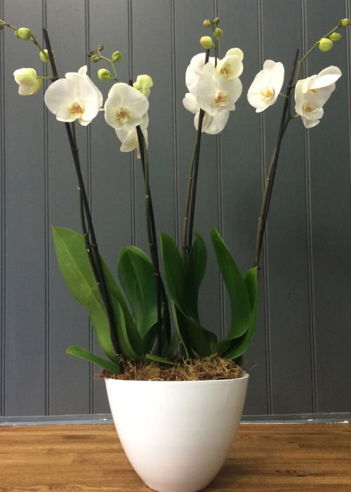 2 Double stemmed orchid plant potted