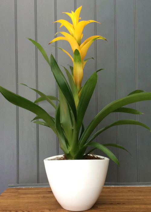 Bromeliad plant potted