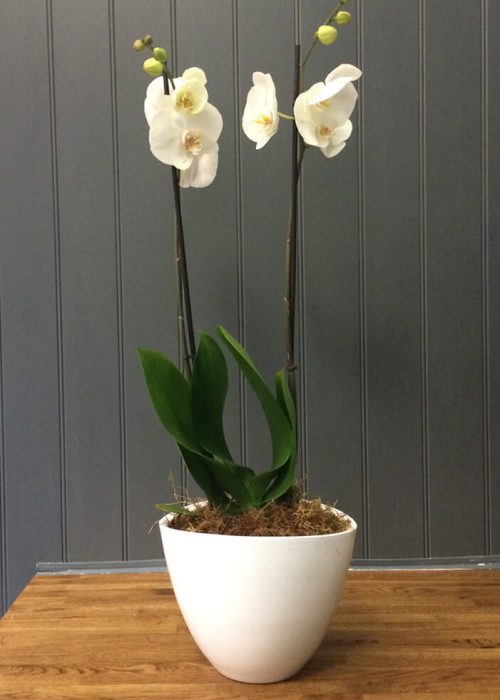 Double stemmed orchid plant potted